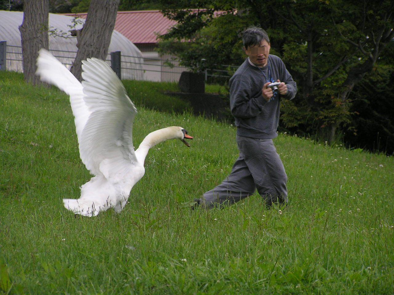Нападение лебедя на человека