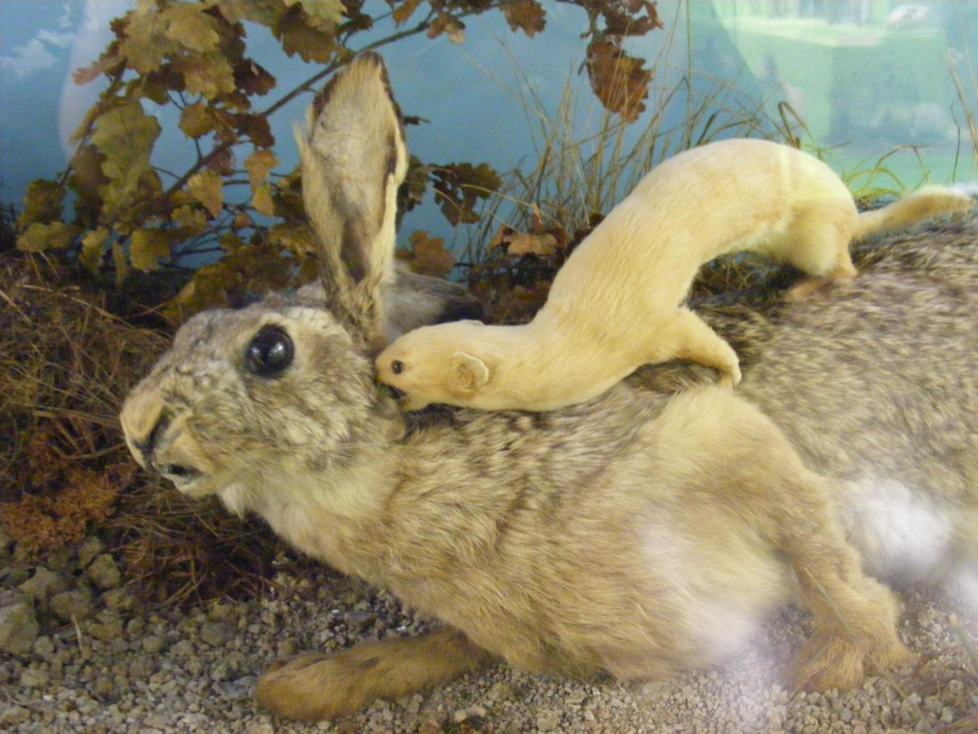 Ласка напала на зайца