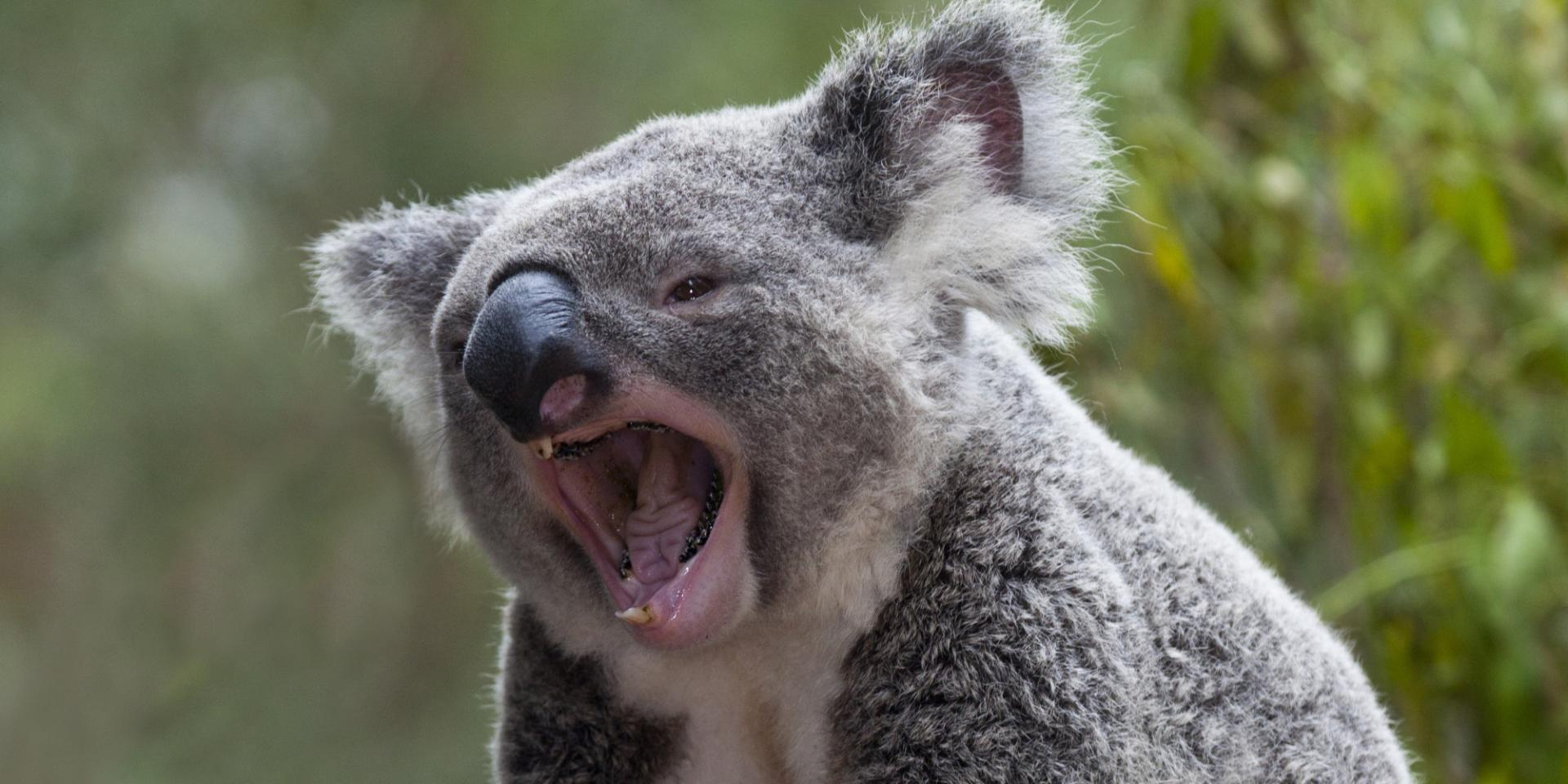 Зубы коалы