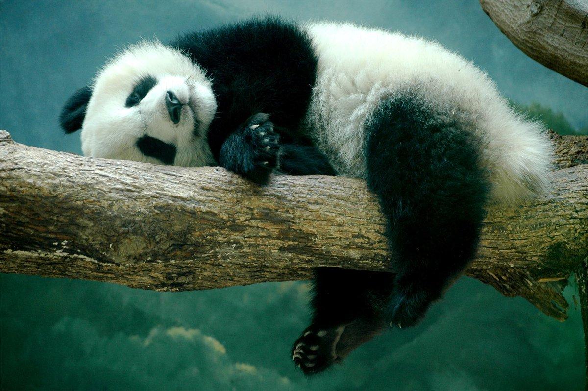 Панда спит на ветке