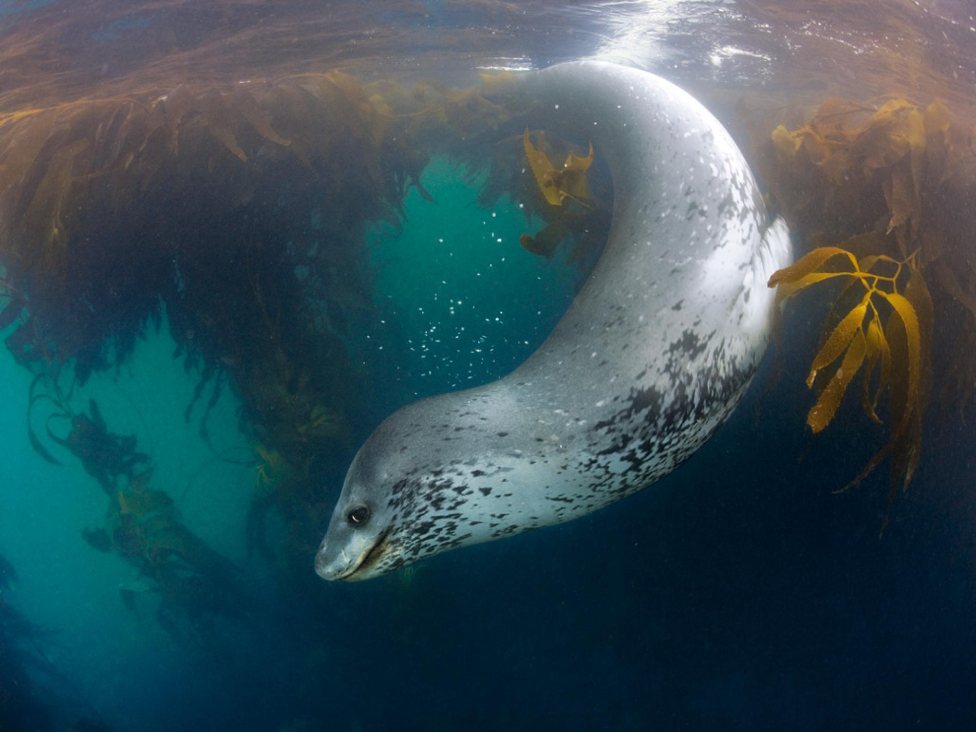 Морской леопард в воде