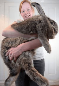 Кролик фландр на руках девочки