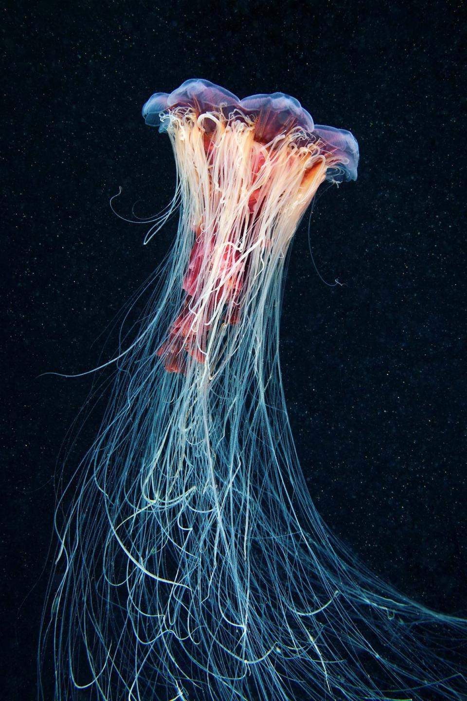 Цианея — синеволосая медуза