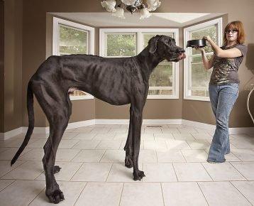 Самая крупная собака