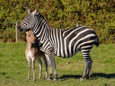 Мама-зебра со своим детёнышем Зиппи
