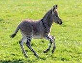 Гибрид зебры и осла появился на ранчо в Великобритании
