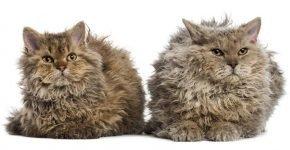 Породы кудрявых кошек — названия и фото