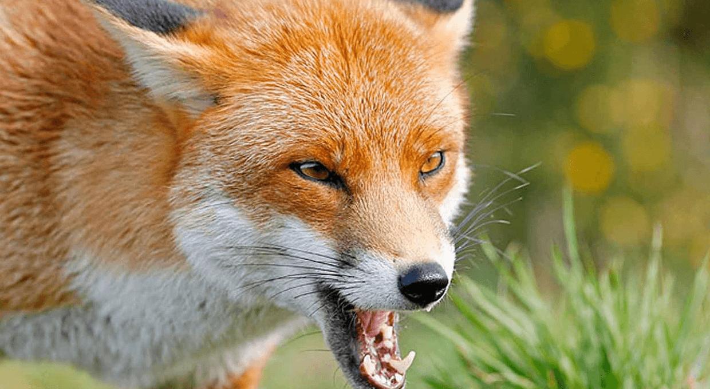Злая лиса