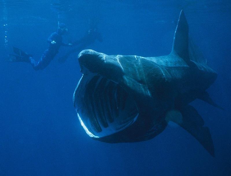 Дайверы плавают рядом с акулой