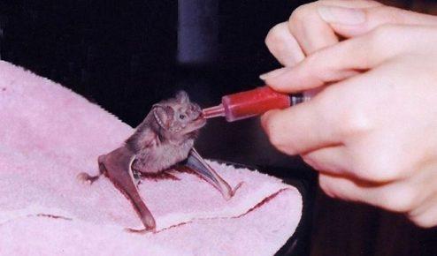 Кормление вампировой мышки