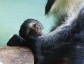 У редкой пары обезьян родился детёныш