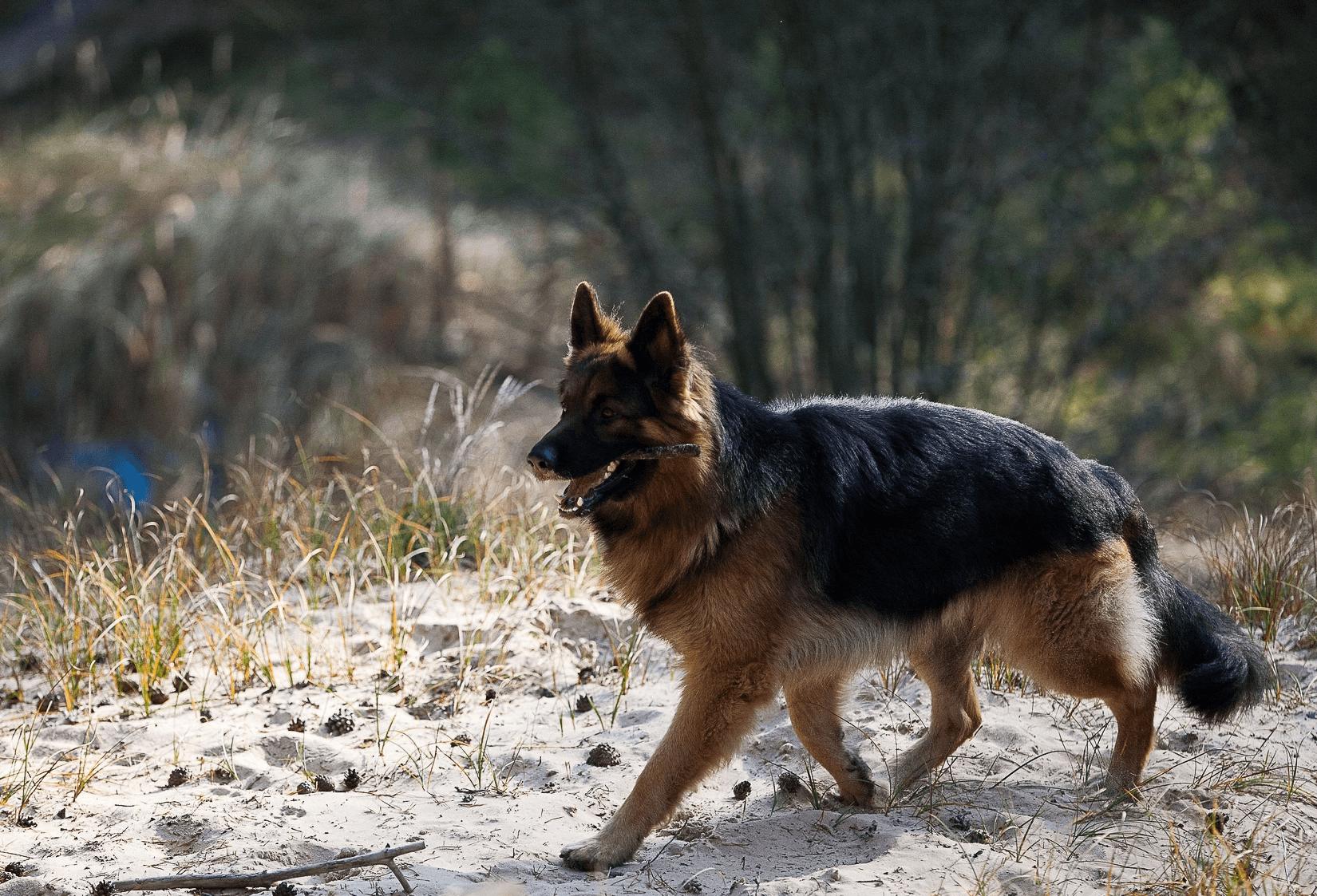 Немецкая овчарка