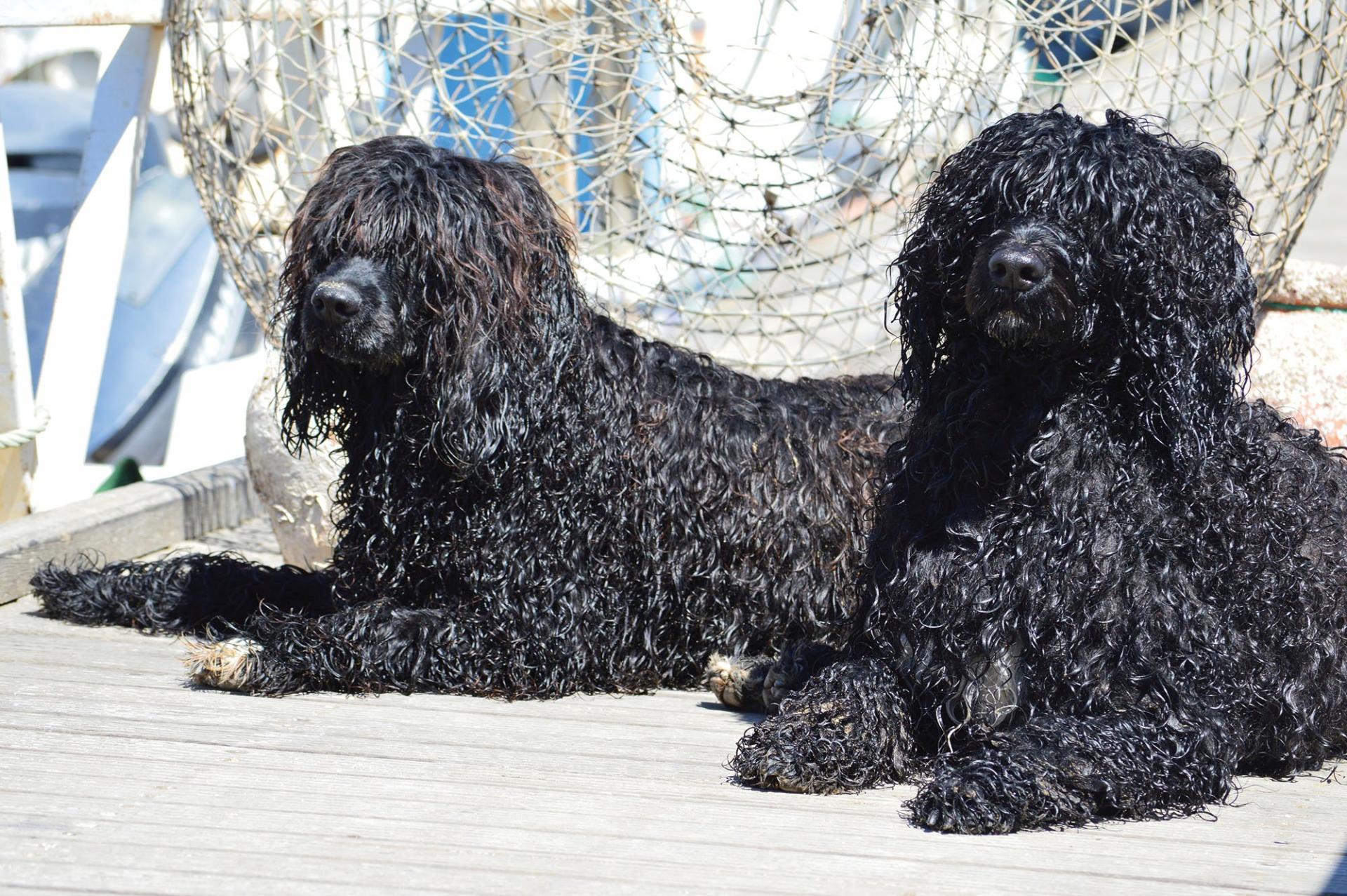 Порода португальская водяная собака