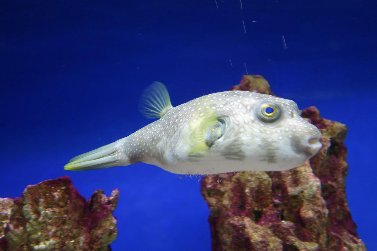 Рыба фугу в воде