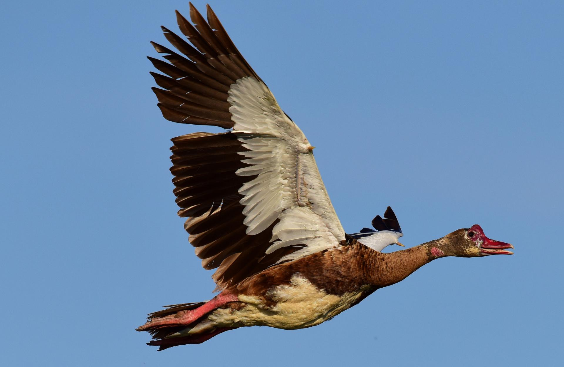 Шпоры на крыльях гуся