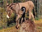 Странная дружба осла и страуса