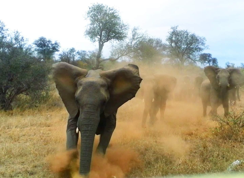 Слоны бегут на оператора