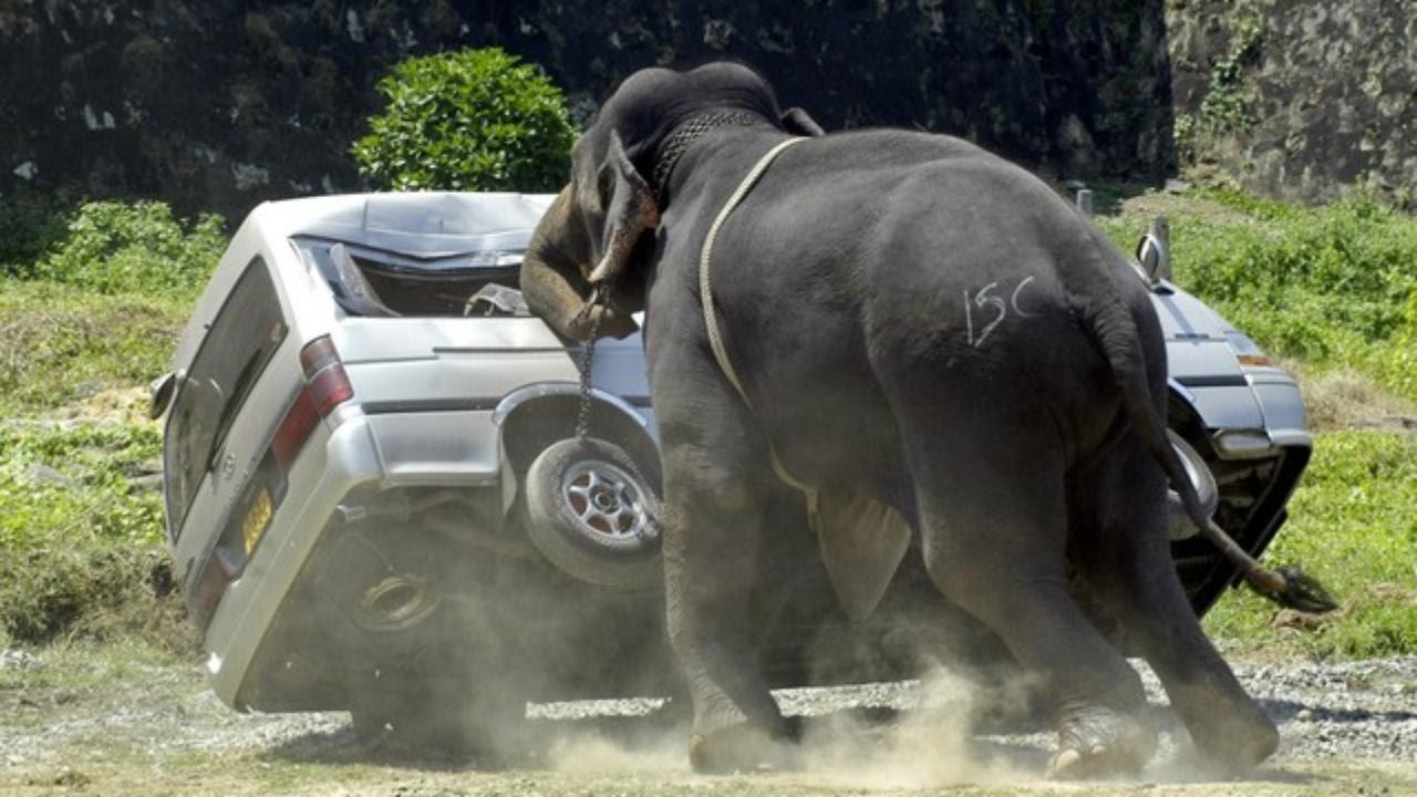 Слон напал на машину