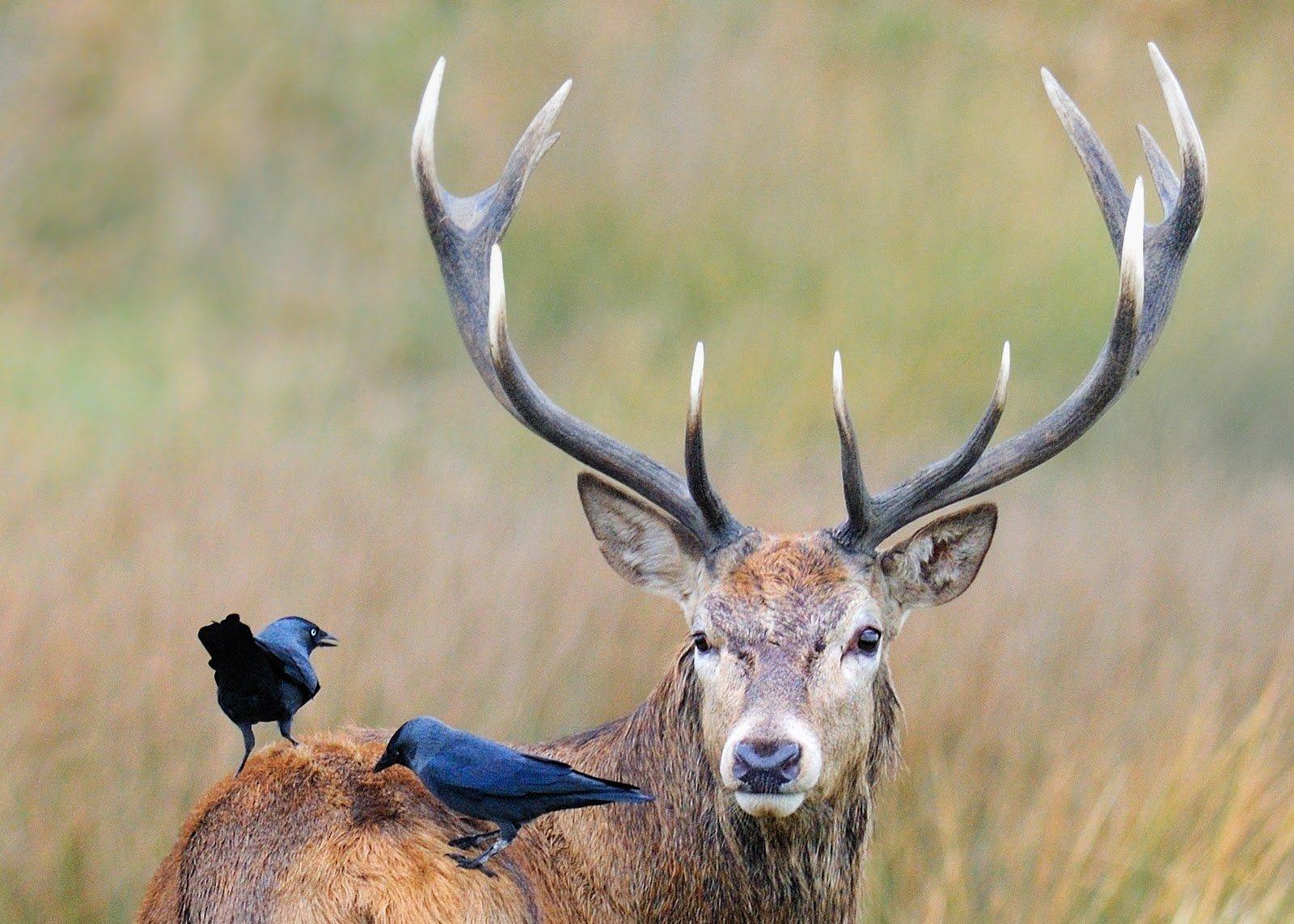 Птицы сидят на спине оленя