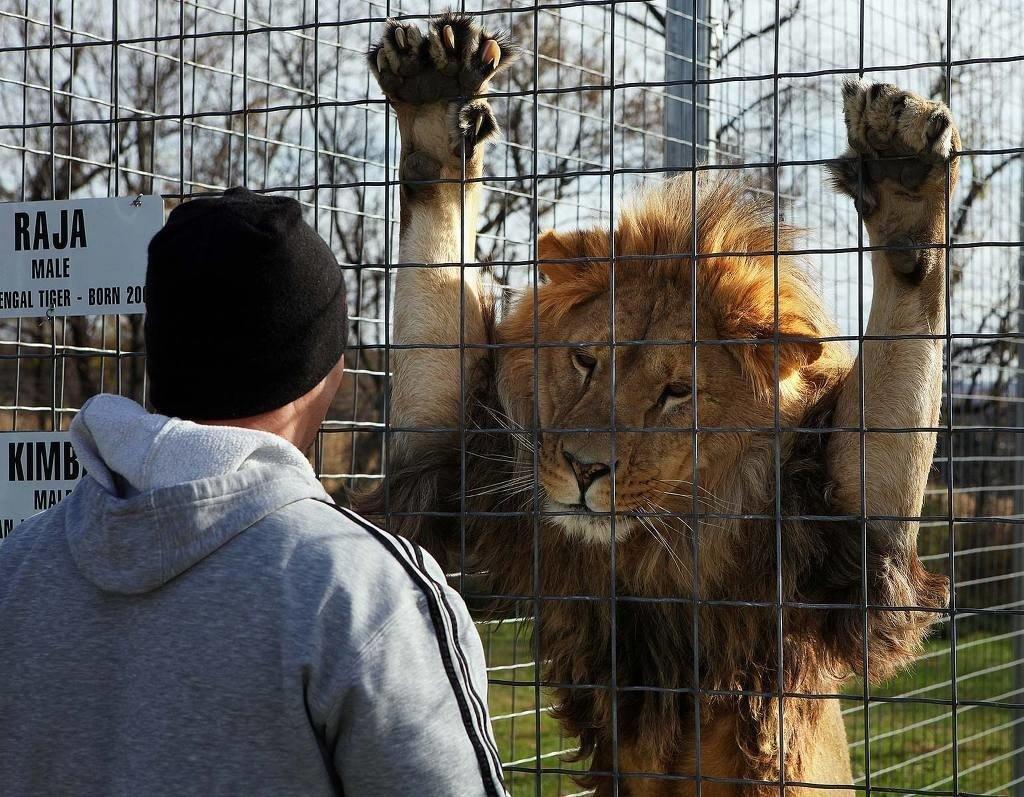 Лев за решёткой