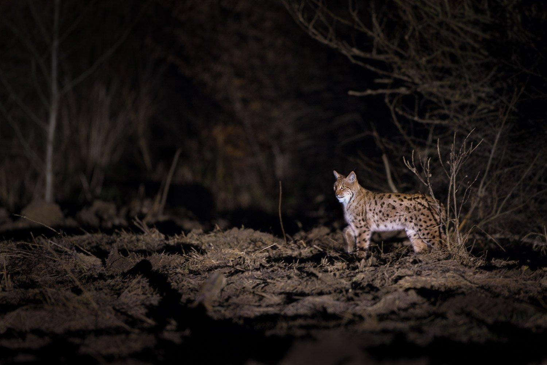 Рысь на ночной охоте