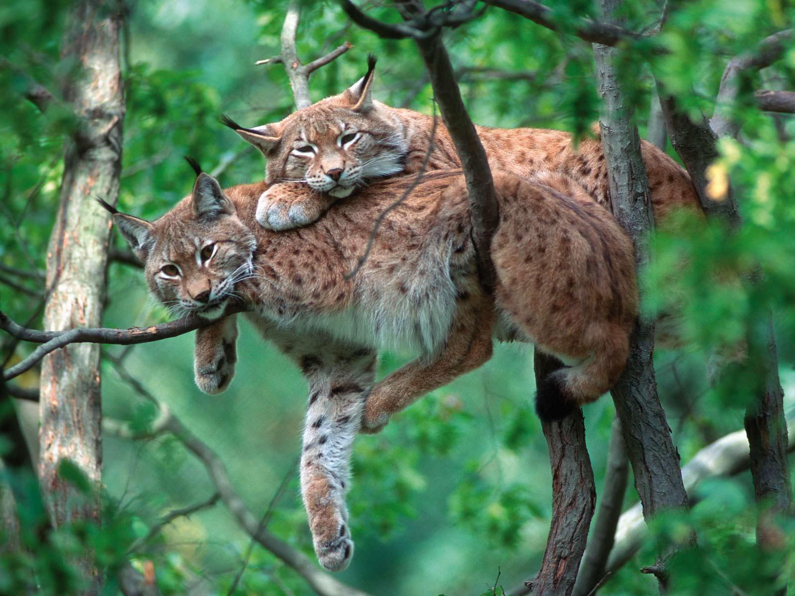 Рыси отдыхают на ветвях