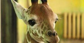 Скончался детёныш жирафа в зоопарке Белгорода