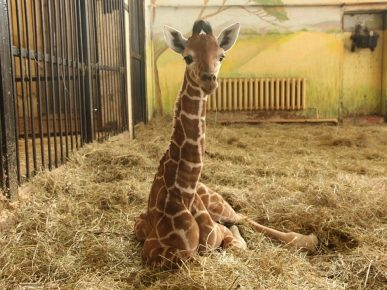 Загадочная смерть жирафа по имени Сафари в зоопарке Белгорода