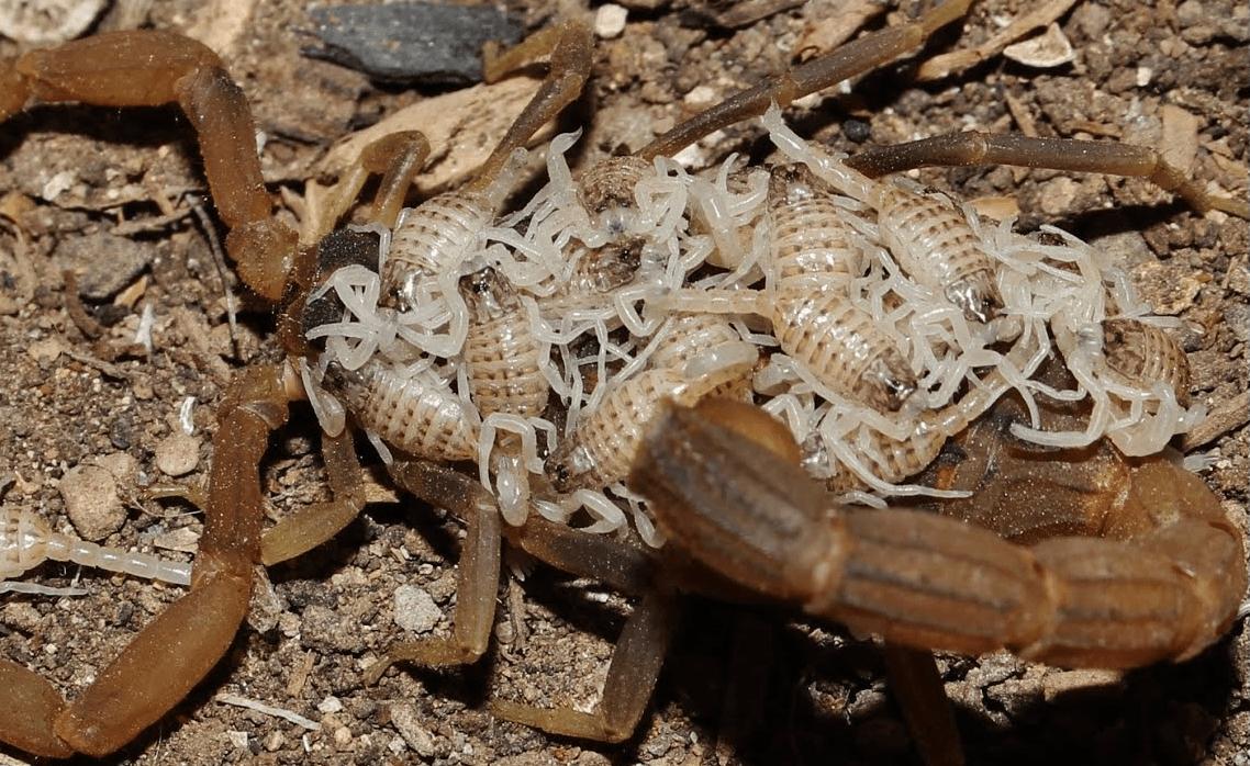 Скорпион с потомством