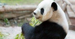 Заигрывание диких панд сняли на видео в зоопарке Китая