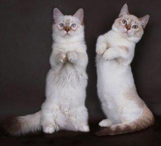 Кошки породы манчикин сидят как кенгуру