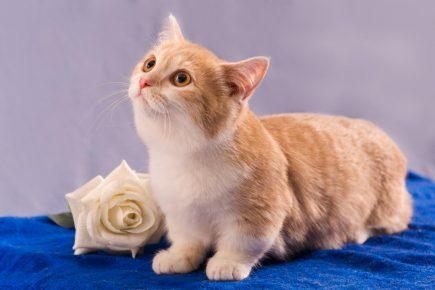 Манчкин — коротколапая кошка