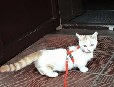 кошка манчикин гуляет в шлейке