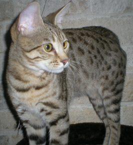 Кошка серенгети внимательно на что-то смотрит