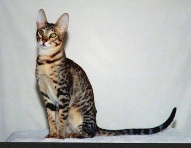 Кошка, похожая на сервала