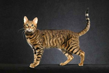 Серенгети — домашняя кошка