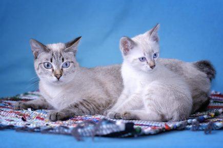 Меконгский бобтейл — кошка с котёнком