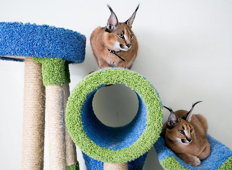 Кошки породы каракал в доме