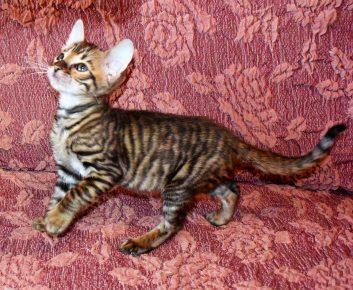Котёнок породы тойгер
