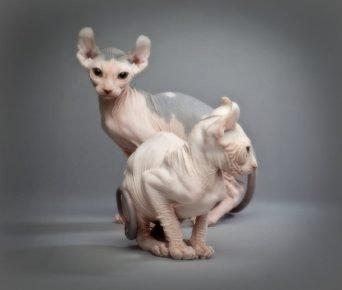 Кошки породы эльф