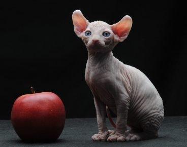 Кот Эльф и яблоко