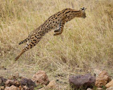 Сервал в прыжке за добычей