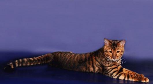 Кот тойгер отдыхает