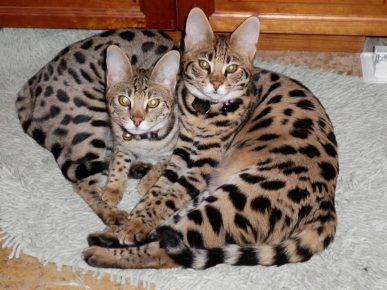 Два котёнка породы саванна