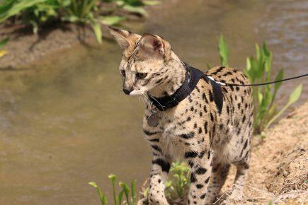 Кошка саванна на прогулке на поводке