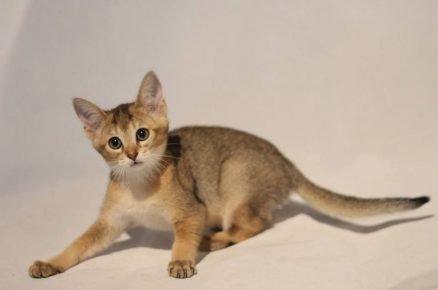 Котёнок породы чаузи