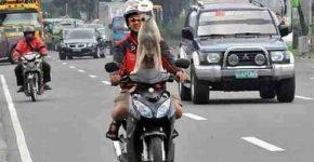 На Филиппинах мотоциклист прокатил с ветерком троих собак