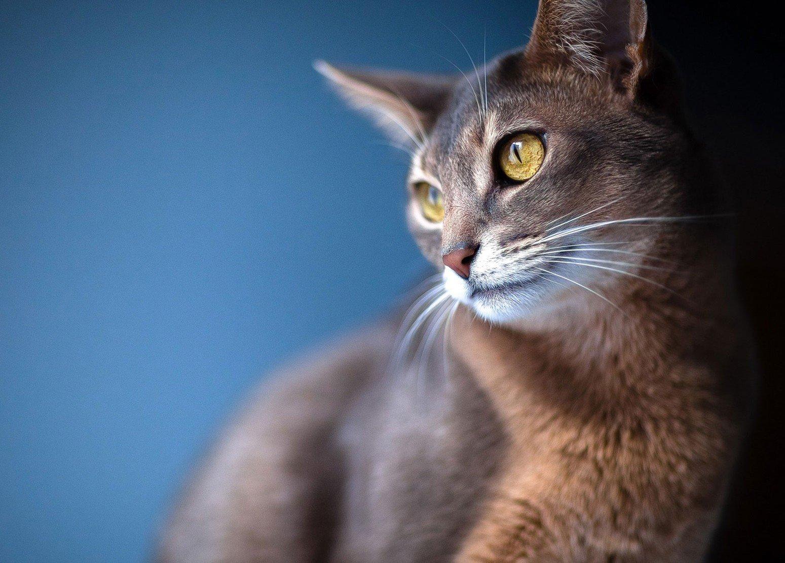 Кошка абиссинской породы вблизи