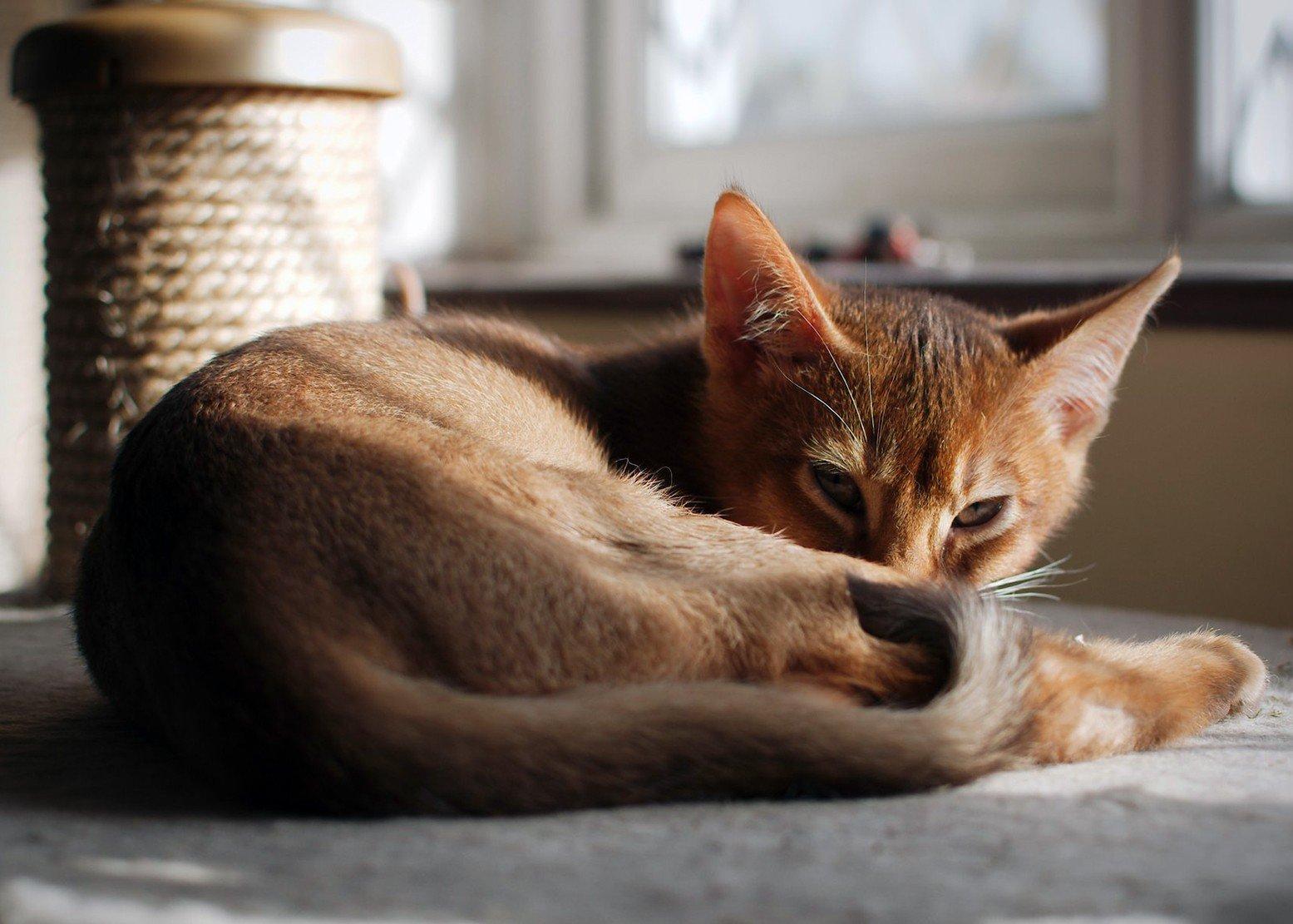 Абиссинская кошечка отдыхает