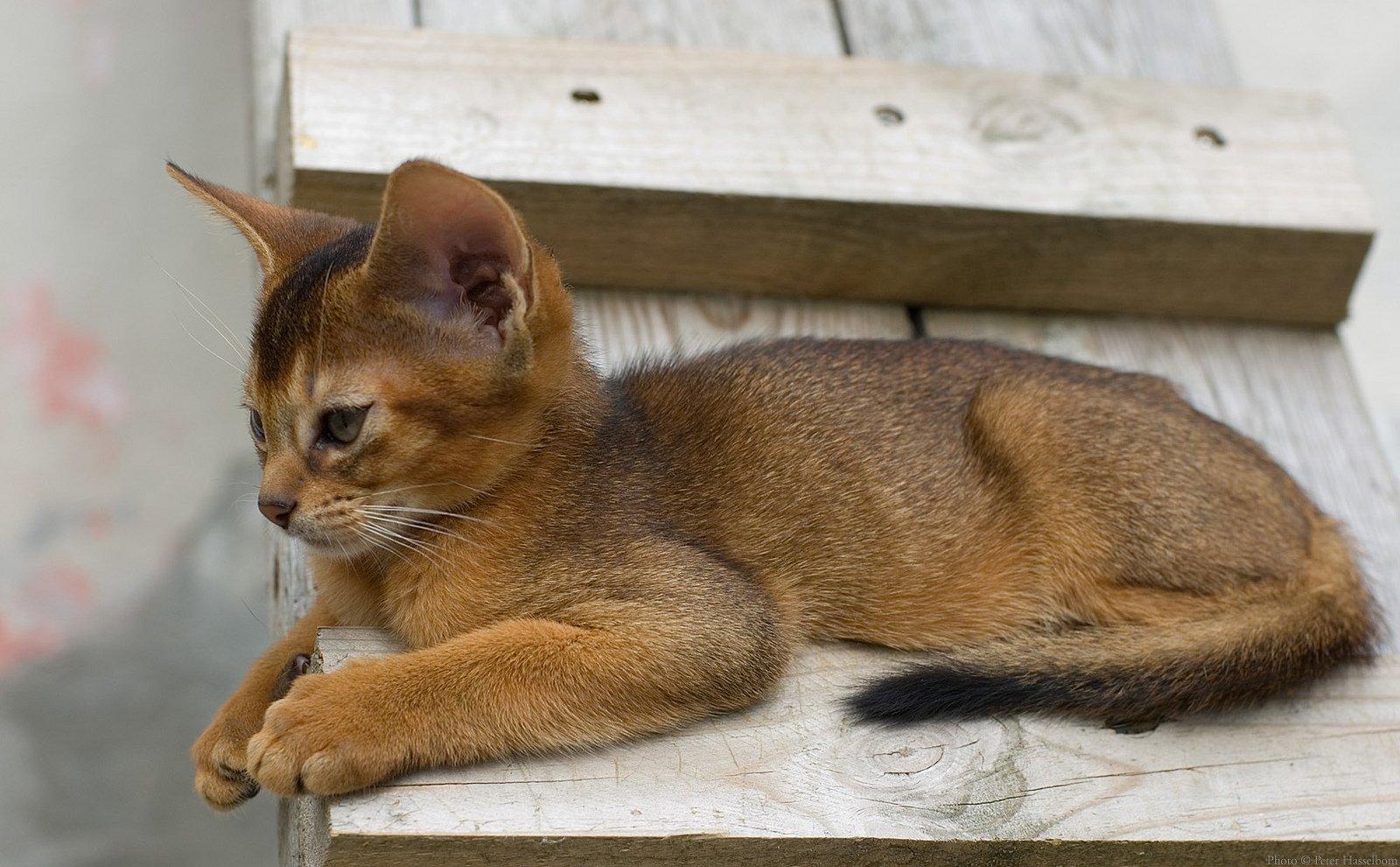 Абиссинский котёнок греется на солнышке